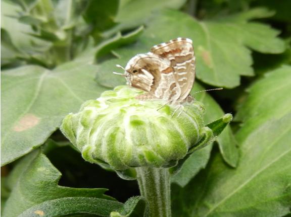 Le papillon du g ranium for Geranium d interieur