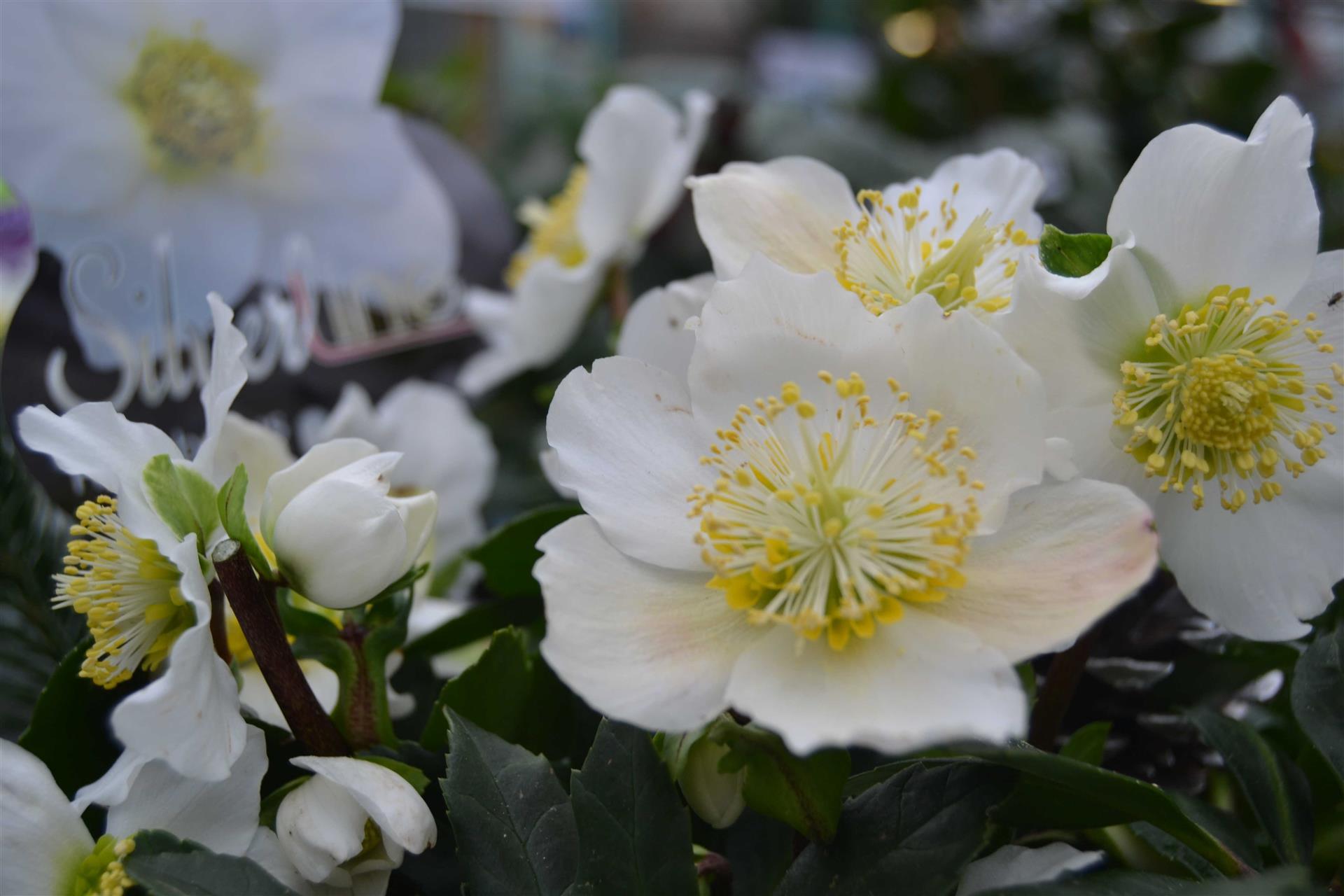 Hellebore Rose De Noel Entretien l'hellebore ou rose de noël
